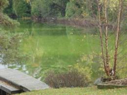 Loss of 'lake lawnmowers' leads to algae blooms