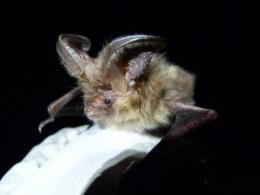 'Lost' bats found breeding on Scilly