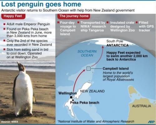 Lost penguin goes home