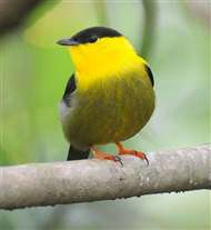 Male golden-collared manakin