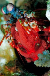 Mantis Shrimp Eye Could Improve High-Definition CDs, DVDs