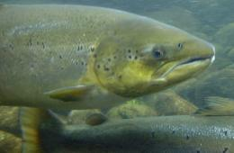 Mapping immune genes in salmon