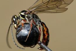 Microdots spot on for wasp study