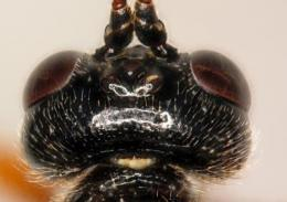 Misleading morphology: 3 European parasitoid wasp 'species' are seasonal forms of just 1