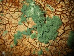 Mold fungi can cure plants