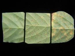 Molecular technique advances soybean rust resistance research