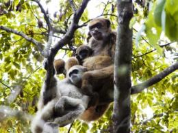 Monkey mothers found to be key to sons' reproductive success