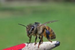 Monogamous queens help bees cooperate