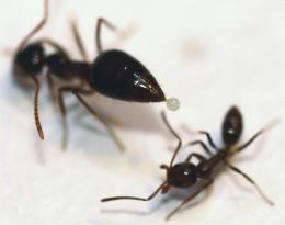 Native ants use chemical weapon to turn back invading Argentine ants