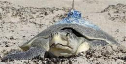 Nesting turtles give clues on oil spill's impact (AP)