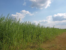 New crops show potential for sustainable biomass