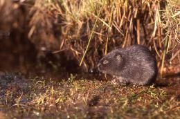 New initiative begins to remove mink in north Scotland