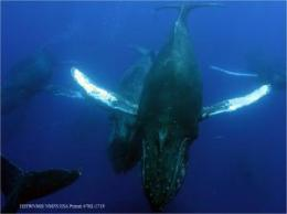 New wintering grounds for humpback whales using sound