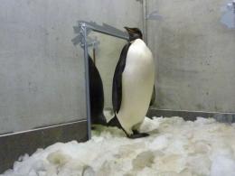 New Zealand's most famous penguin