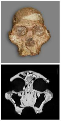 Not just skin deep -- CT study of early humans reveals evolutionary relationships