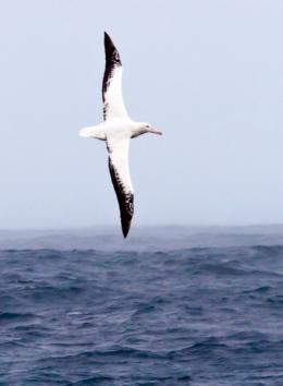 On the sizeable wings of albatrosses