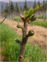 Optimizing yield and fruit size of figs