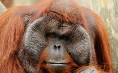 Orangutans adapt their movements to swamp forest