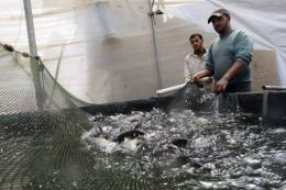 Palestinian workers catch fish at a fish farm in Khan Yunis in the southern Gaza Strip