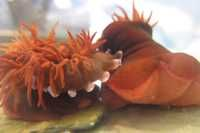 Personality clash: scientists discover 'bold' sea anemones excel at fighting