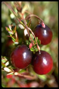 Pest preferences for cranberry cultivars determined