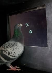 Pigeons no bird brains when it comes to number sense