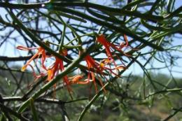 Pilbara mistletoe faces sub-regional extinction