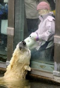 Polar bear Knut interacts with six-year-old visitor Nane and her cushy polar bear