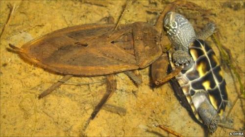 Predator-prey role reversal as bug eats turtle
