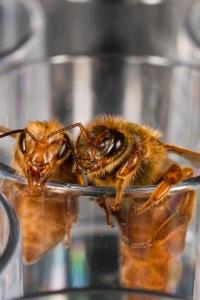 Protein love triangle key to crowning bees queens?