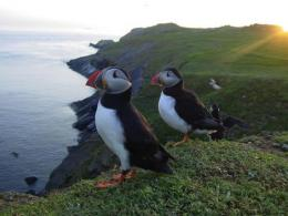 Puffins 'scout out' best migration route