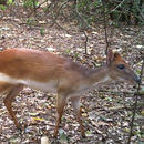 Rare antelope reveals secrets of threatened African forest