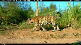 Record number of jaguars uncovered in Bolivia