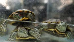 Red Eared Slider turtles are displayed inside an aquarium at the Ninoy Aquino Parks and Wildlife Center in Quezon City