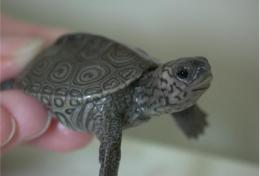 Reduced bone density, stunted growth in turtles exposed to common chemical