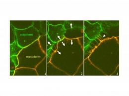 Repulsion more important than cohesion  in embryonic tissue separation