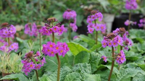 Chinese primrose rediscovered