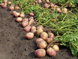 Revealing how a potato disease takes hold