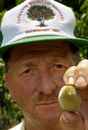 Robert Black, owner of the Catoctin Mountain Orchard, holds a young peach that bears a scar from the Asian stink bug