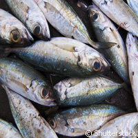 Scientists use DNA technique to distinguish sardines from mackerel