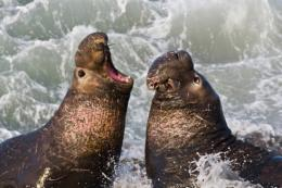 Seals mating at sea give beachmaster the slip