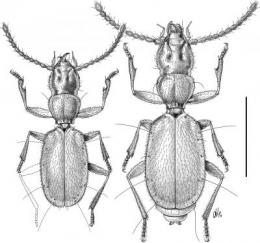 Separated for 20 million years: Blind beetle from Bulgarian caves clarifies questions