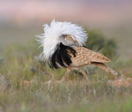 Sexually extravagant male birds age more rapidly, but try to hide it