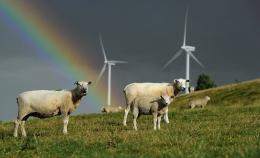 Sheep graze close to electricity generating wind turbines