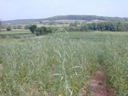 Short rotation energy crops could help meet UK's renewable energy targets