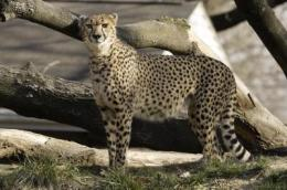 Significant litter of cheetah cubs born at Smithsonian Conservation Biology Institute