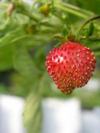 Simpler woodland strawberry genome aids research on more complex fruits