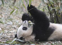 Six captive-bred pandas will be freed into an enclosed forest in southwestern China next year