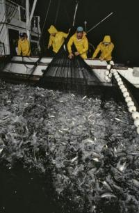 'Small fry' fish just as vulnerable to population plunges as sharks or tuna