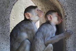 Some monkeys born with gene that protects against AIDS